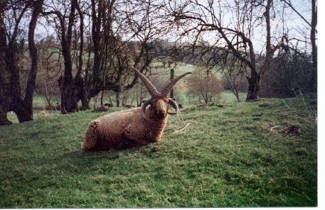 Picture of four-horned Manx Loaghtan ram from the Beilidu flock