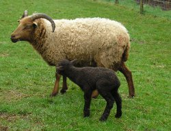 Ewe with her newborn lamb