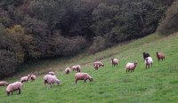 Beilidu sheep grazing in field